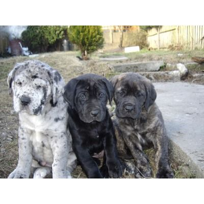 Mastidane Pups I Am In 3 With That Big Ol Merle Animals