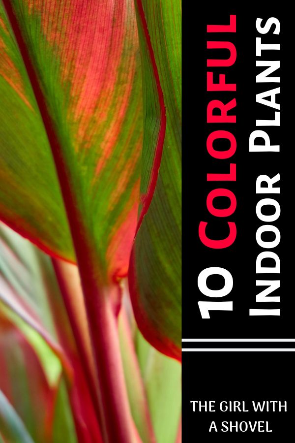 Colorful Indoor Plants Indoor Plants House Plants Plants 400 x 300