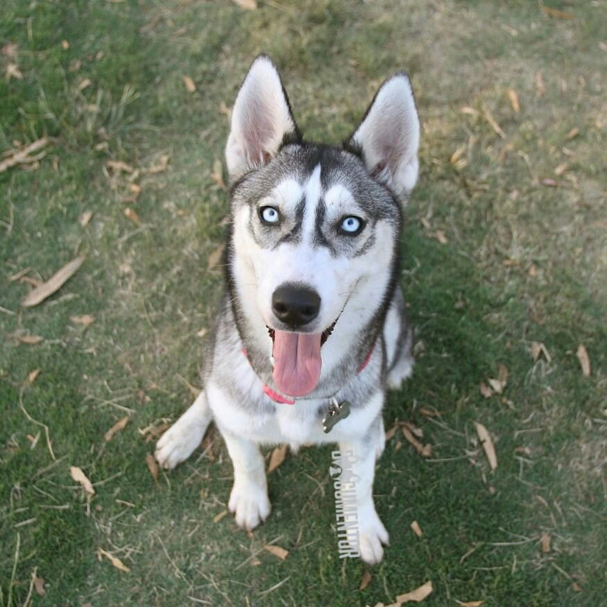 Bella Siberian Husky 6 M O Grape St Dog Park Dog Park