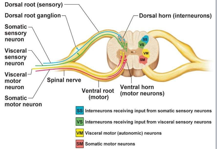 Dorsal Roottransmits Sensory Fibers From The Spinal Nerve To ...