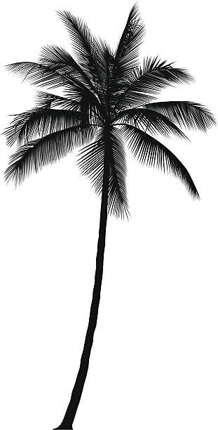 Palm Tree Vector Art : vector, Vector, Illustration, Silhouette,, Vector,, Sketch