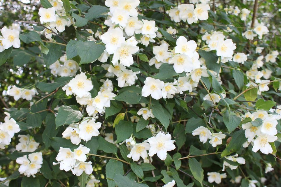 bauernjasmin pfeifenstrauch duftender bauernjasmin philadelphus coronarius plants for. Black Bedroom Furniture Sets. Home Design Ideas