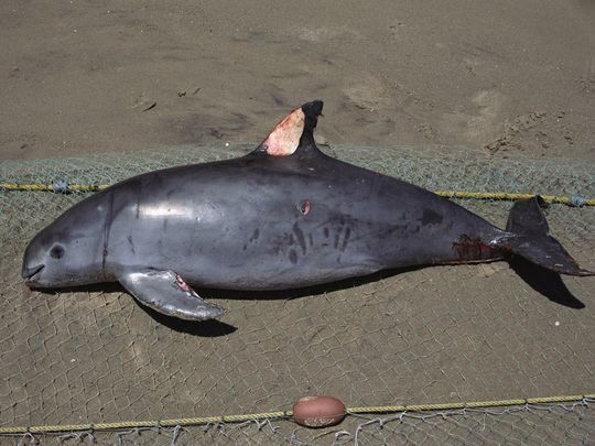 This Vaquita died in a gill net intended for sharks in the Sea of Cortez near San Felipe, Mexico.