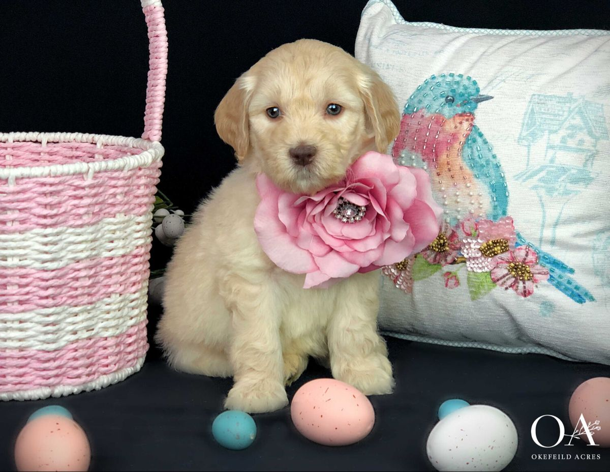 Goldendoodle Puppies Florida Rescue References