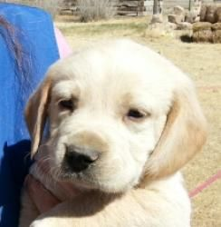 Adopt Crestone On Dogs Golden Retriever Second Chance Animal