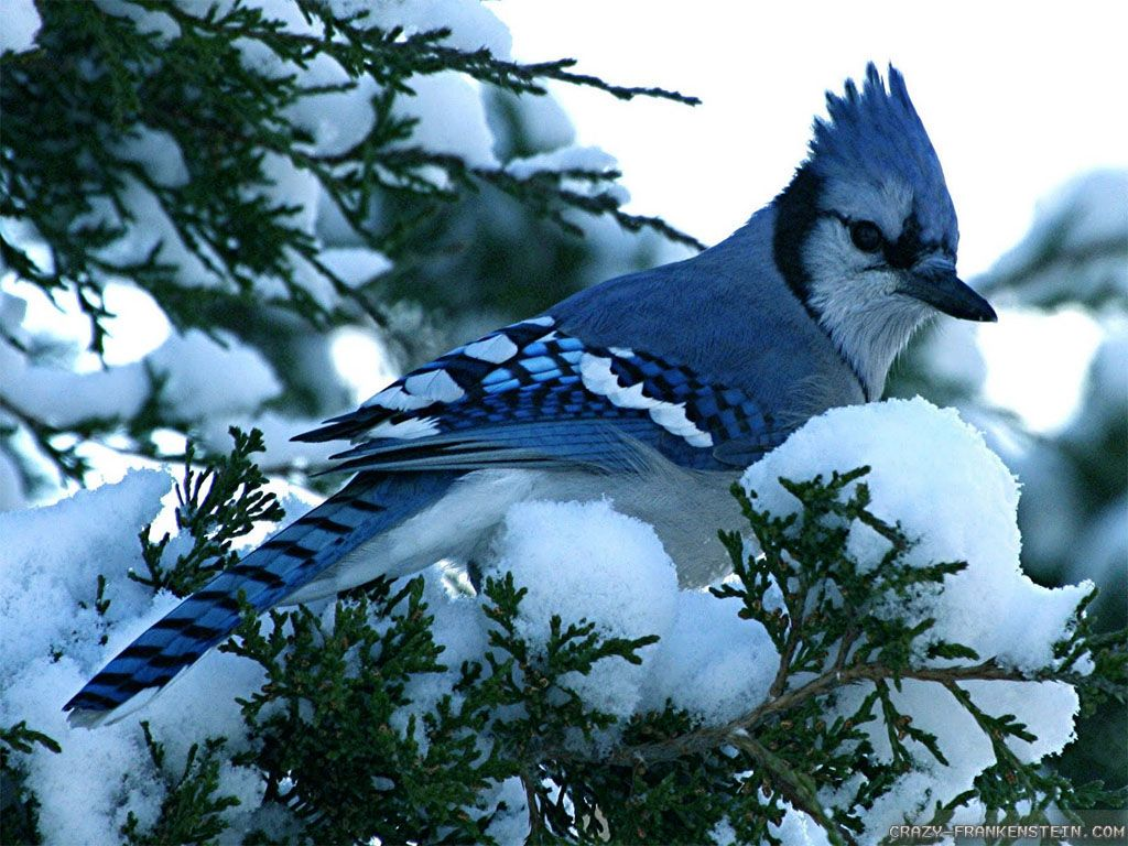 Nice Blue Bird Wallpaper