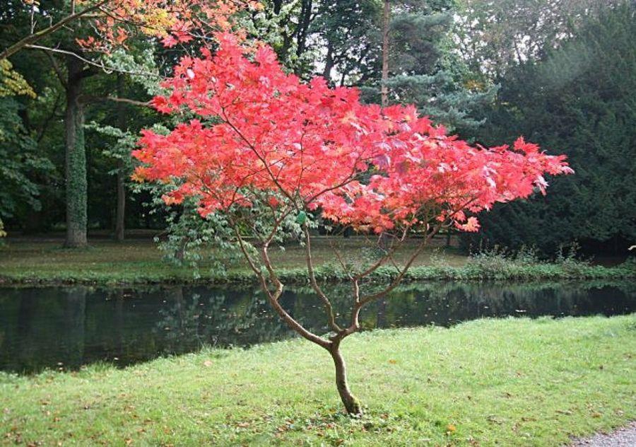 5 preciosos rboles para jardines peque os patios acer for Arboles para jardin