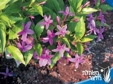בת-אביב דלילה 'מימי פרפל' - Ruspolia -    Ruspolia psoudranthemoides 'Mini Purple' כינוי: רוספוליה סגולה גובה: 1.5 מ', שיח מעוצה בבסיסו, בעל מבנה מעוגל מושך פרפרים, מושך צופיות,  פורח בסגול באביב, בקיץ ובסתיו, עלים ירוק כהה  ירוק-עד,  גיזום קיטום ודילול באביב כדי לרענן את הצמח,  הצללה חלקית עד מלאה,  רגיש לקרה ולקור,