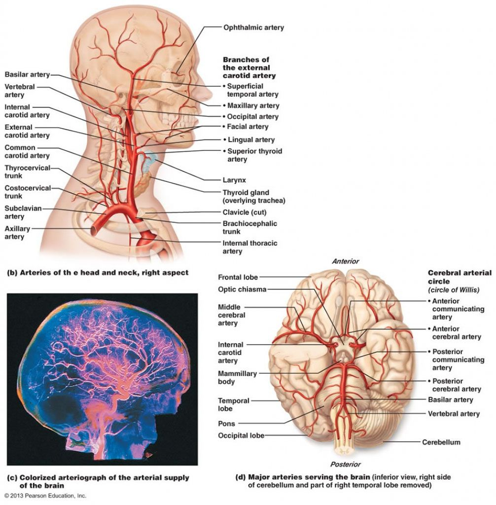 The blood vessel in the head and neck anatomical structure in detail ...