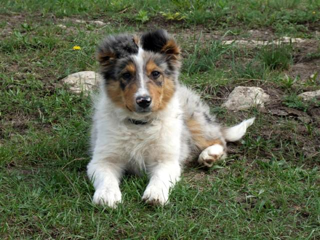 Blue Tricolor Merle Border Collie With Images Border Collie