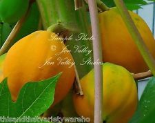 Carica papaya Tree Seeds Sweet Small fruit Container Gardening -Standard growing