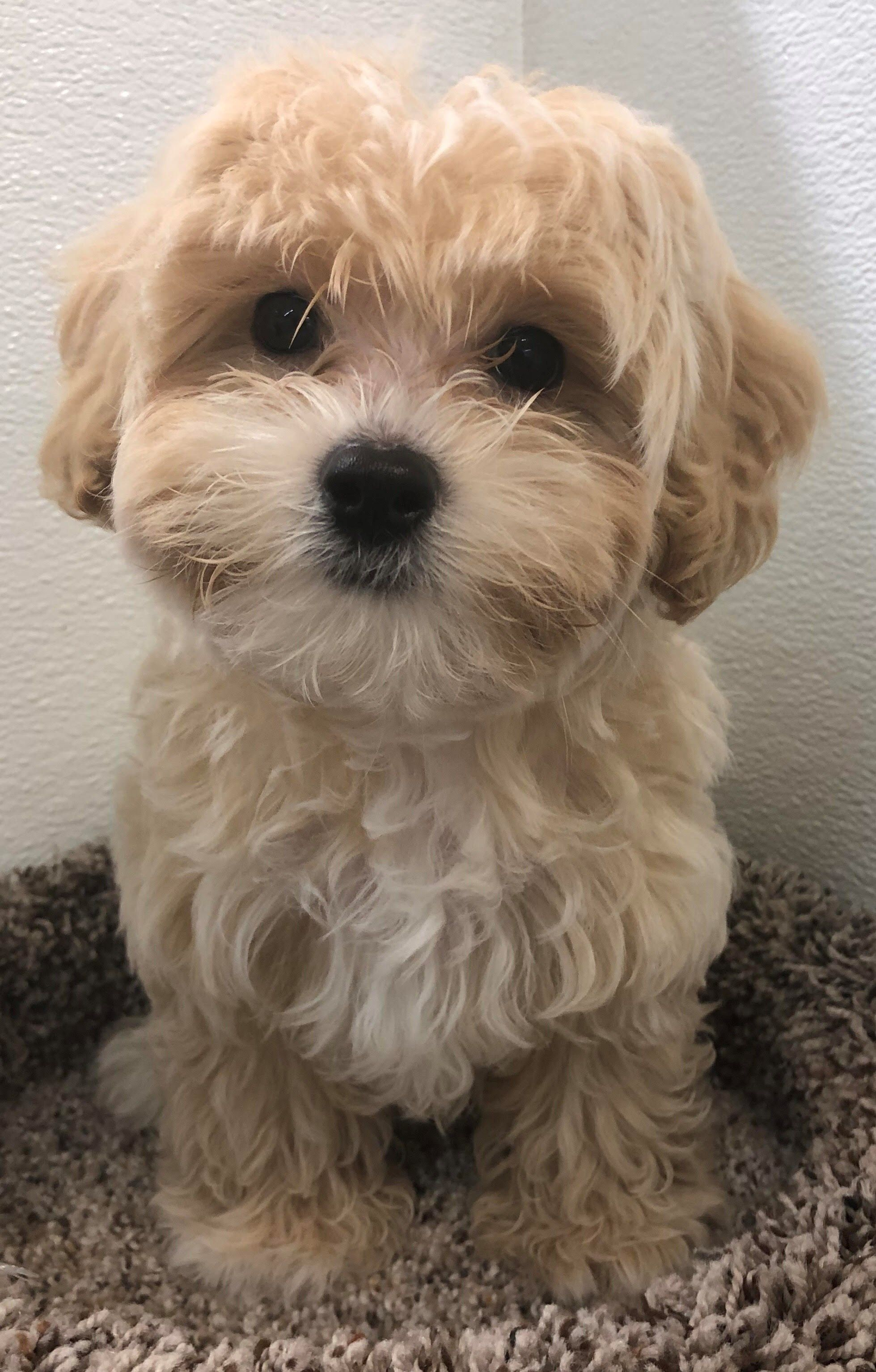 Our Puppies For Sale Maltipoo Puppies For Sale Maltipoo Puppy