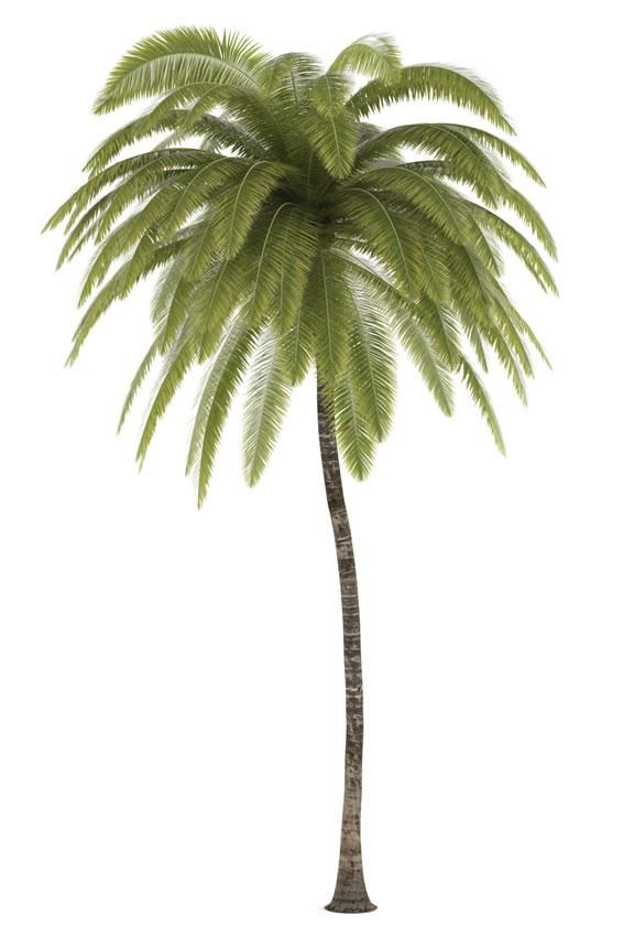 Pictures Of Different Types Of Palm Trees Palm Tree Drawing Palm Trees Landscaping Palm Tree Types