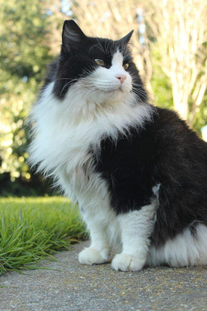 Grey Siberian Cat Black And White Siberian Cat Silver Tabby