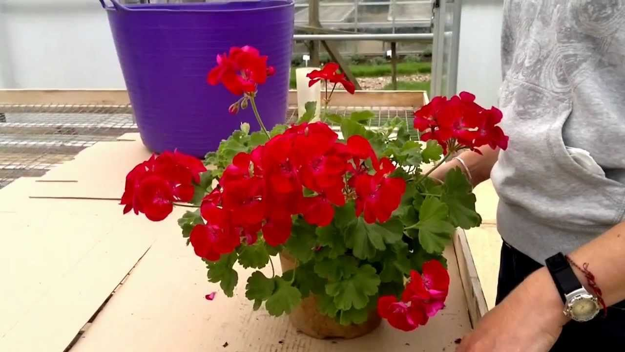 Pin on geraniums red