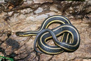 Dnr Butler S Garter Snake Thamnophis Butleri Snake Beautiful Snakes Amphibians