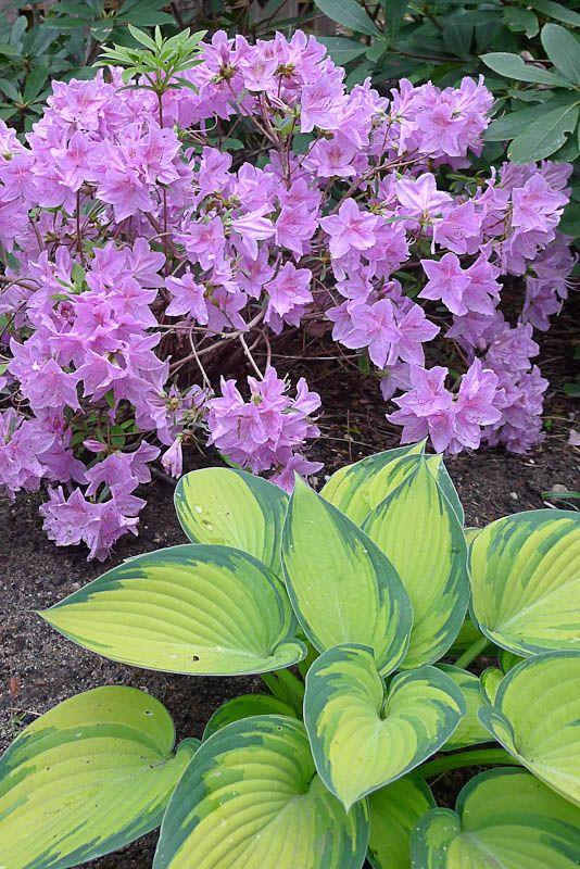 Korean Azalea Hampton Garden Garden Shade Garden