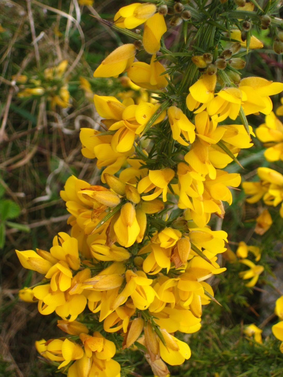 Yellow Flower Spiky Bush 4