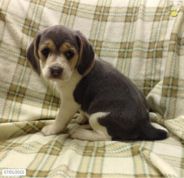Beagle Puppy For Sale In Ohio Beagle Puppy Puppies For Sale