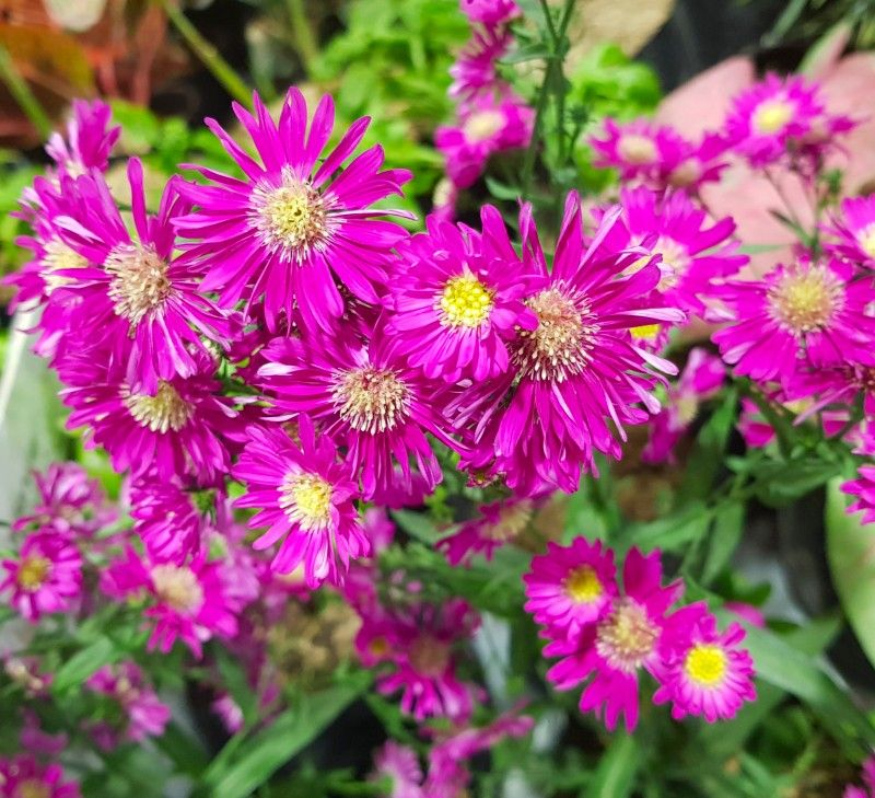 Pink Asters Flower Flowers Perennials May Flowers Planting Flowers