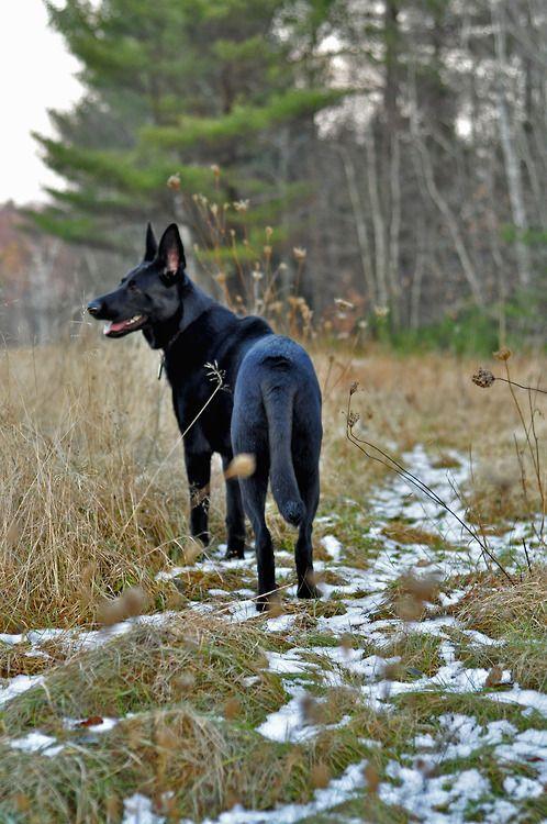 Black German Shepherd In A Field With Melted Snow Gsd German