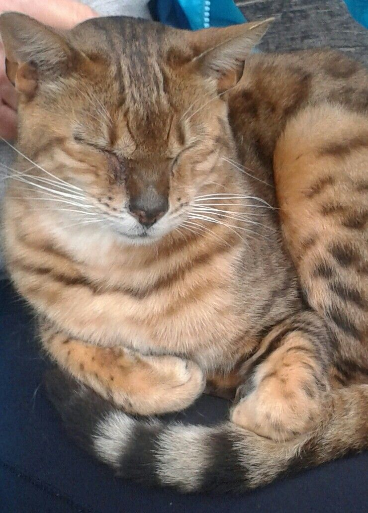 Bengal Cat Bengal cat, Cool cats, Cats