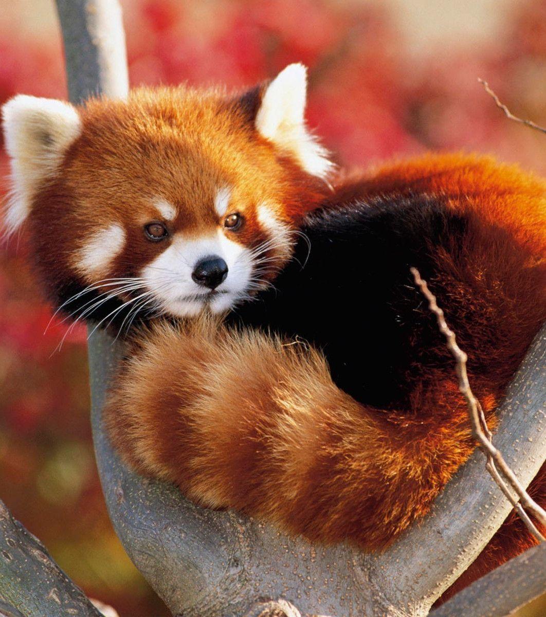 Panda Roux Les Photos Les Plus Mignonnes Du Monde Animaux