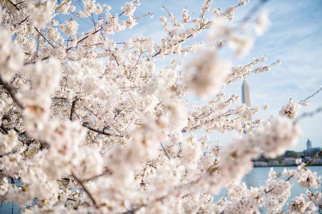 Pin By Trang On Cherry Blossoms Cherry Blossom Blossom Cherry Blossom Festival