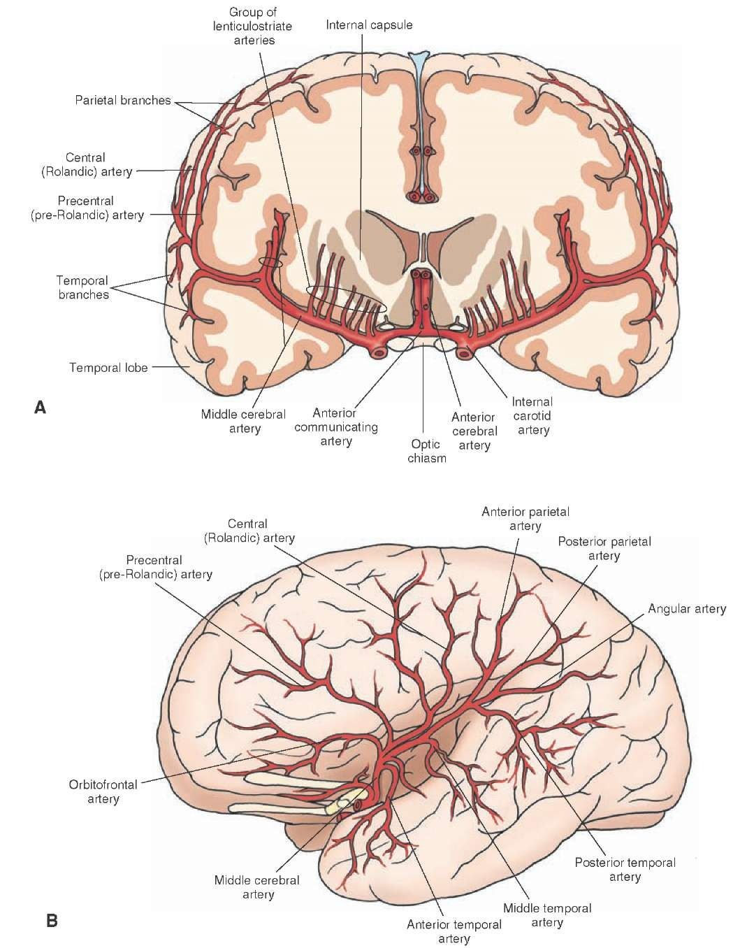Major branches of the middle cerebral artery. (A) Coronal section ...