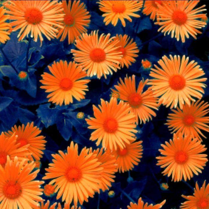 Orange Flowers, Blue Flowers