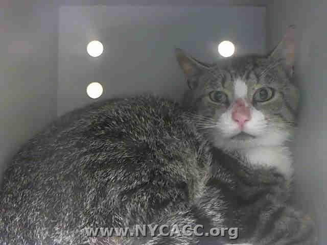 Tab is One of 46 Wonderful Cats/Kittens TO BE DESTROYED in NYC Sunday, June 8'14. ID #A1001931.Male brn tabby & white about 5 YRS old STRAY…
