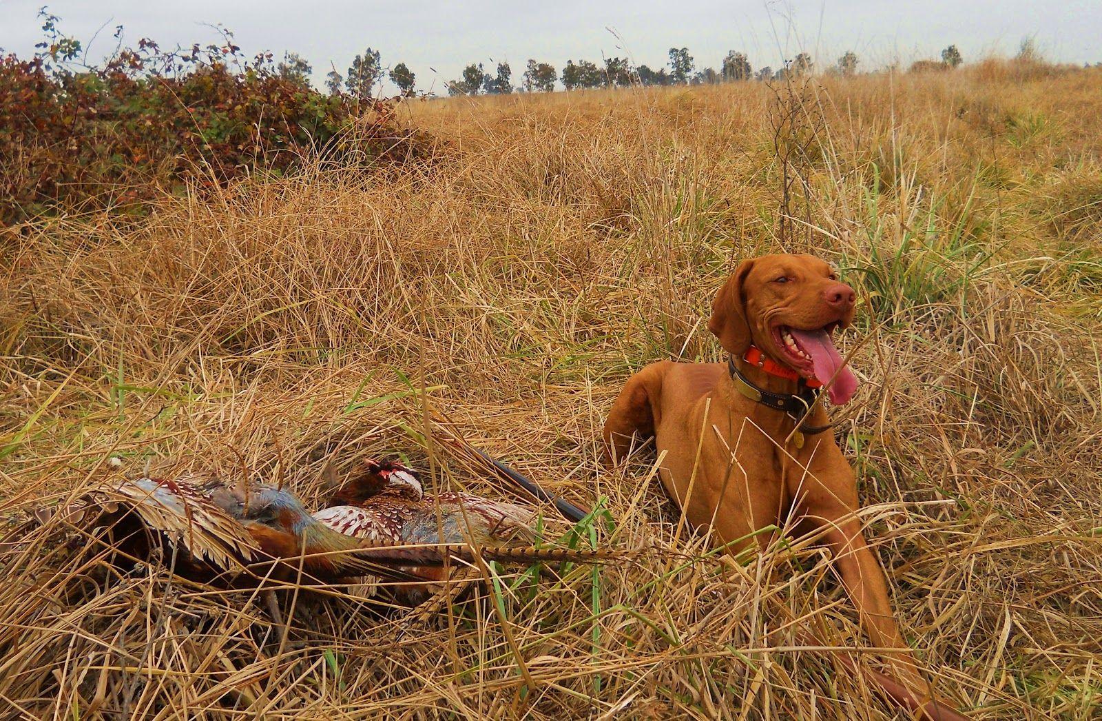 Vizsla | Vizsla, Hunting dogs, Bird dogs