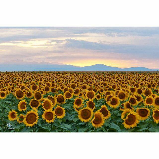 Sunflower fields outside of Denver International Airport