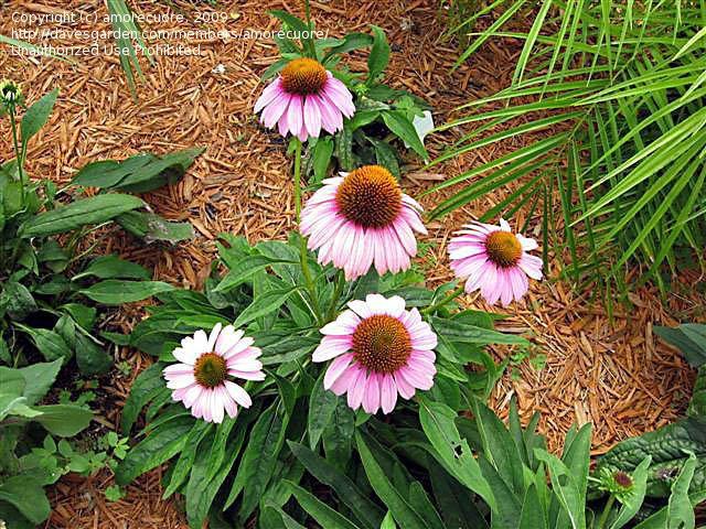 Pin On Echinacea Purpurea Cultivars