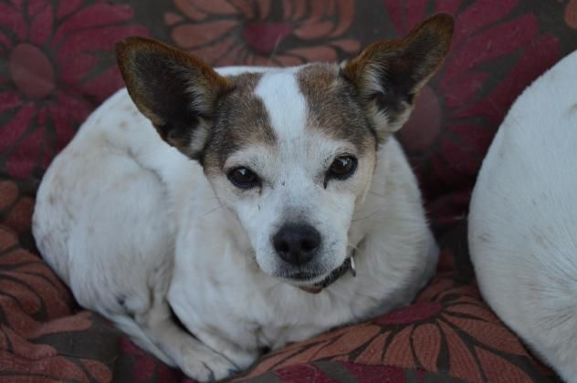 CHILI Dog • Terrier & Chihuahua Mix • SENIOR • Female • Small Animal Rescue of Fresno Fresno, CA