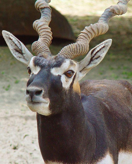 El sasin, antílope indio, antílope negro o cervicabra (Antilope cervicapra) Mide aproximadamente 80 cm a la altura de la cruz y pesa entre 32 y 43 kilográmos. El macho adulto tiene cuernos rectos, anillados, dirigidos hacia atrás, enrollados en una espiral abierta y bastante largos (pueden medir hasta 70 cm). Presenta un dimorfismo sexual marcado: la parte inferior del cuerpo y un anillo de pelo alrededor del ojo son de color blanco en ambos sexos.