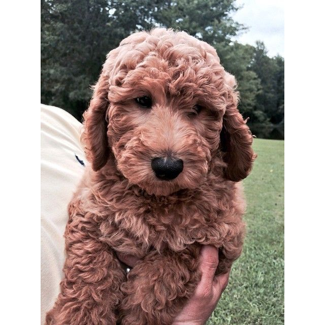 Such A Sweet Face Goldendoodle Golden Retriever And
