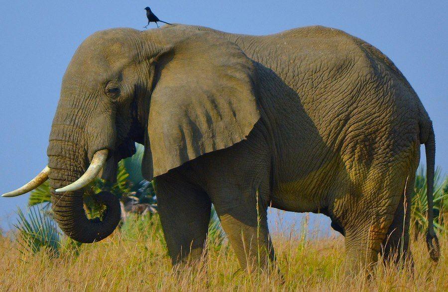 elefant fugl