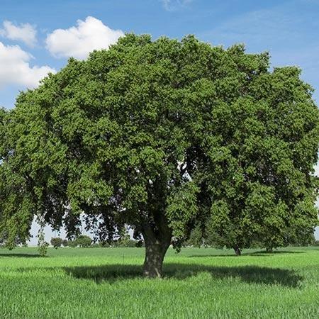 Live Oak Tree Shade Trees Live Oak Trees Fast Growing Trees