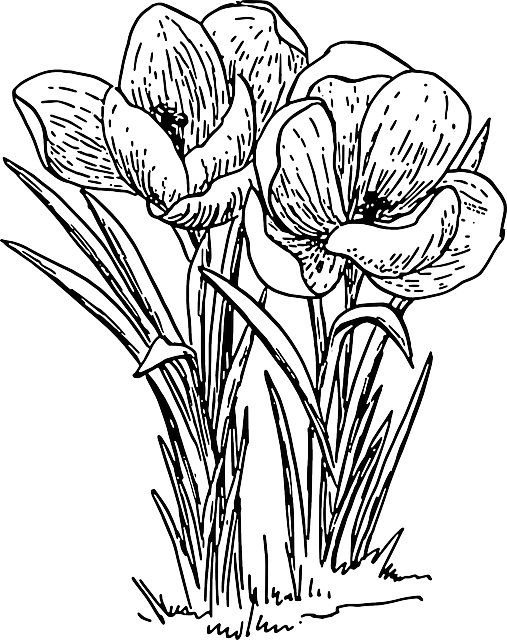Line Drawing Spring Flowers : Free image on pixabay crocus flower plant bulb