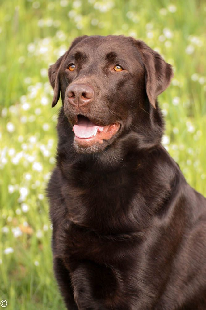 Brauner Labrador