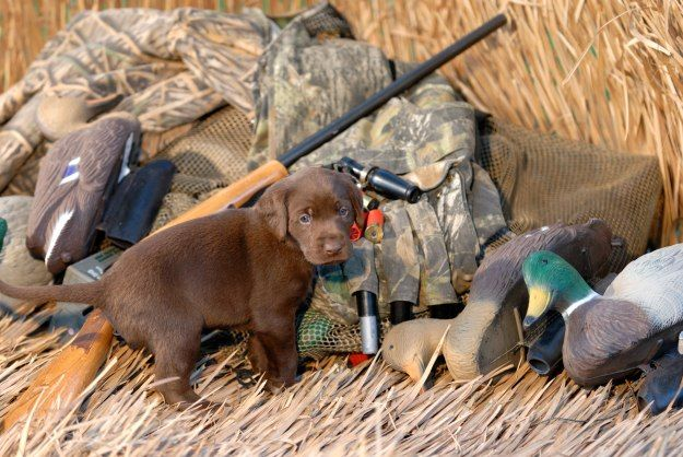 How To Train A Hunting Dog To Retrieve Hunting Dogs Training