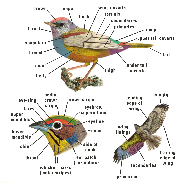 A guide to bird watching : Hickey, Joseph J. (Joseph James ...