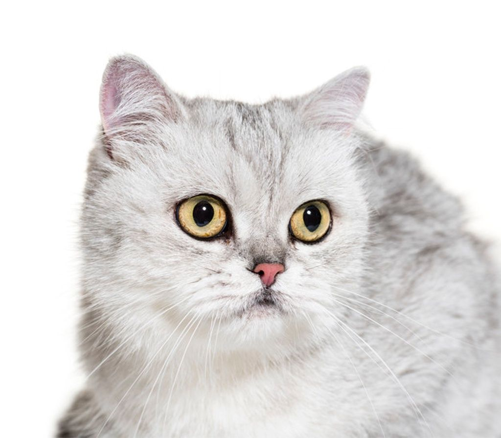 Closeup of a british shorthair cat, isolated paid, ,