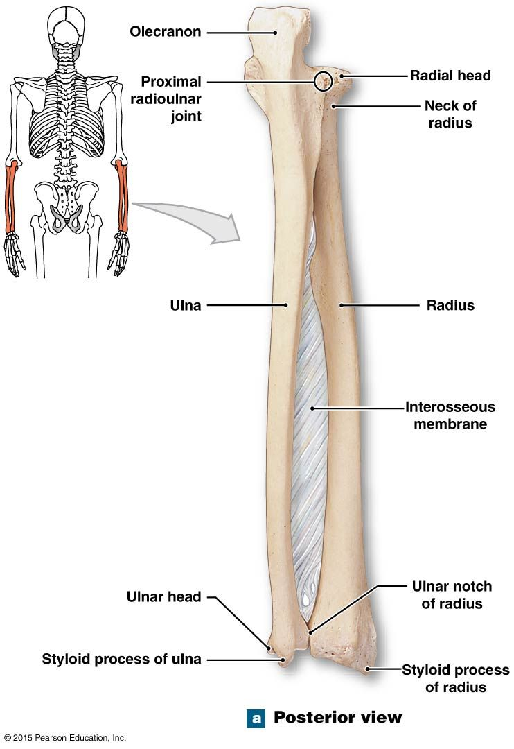 posterioir view of the right radius and ulna | Nursing ... Ulna Bone
