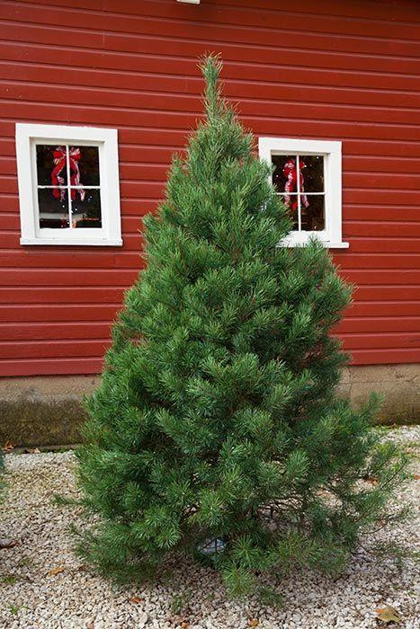 Pin On Christmas Trees At Hensler S