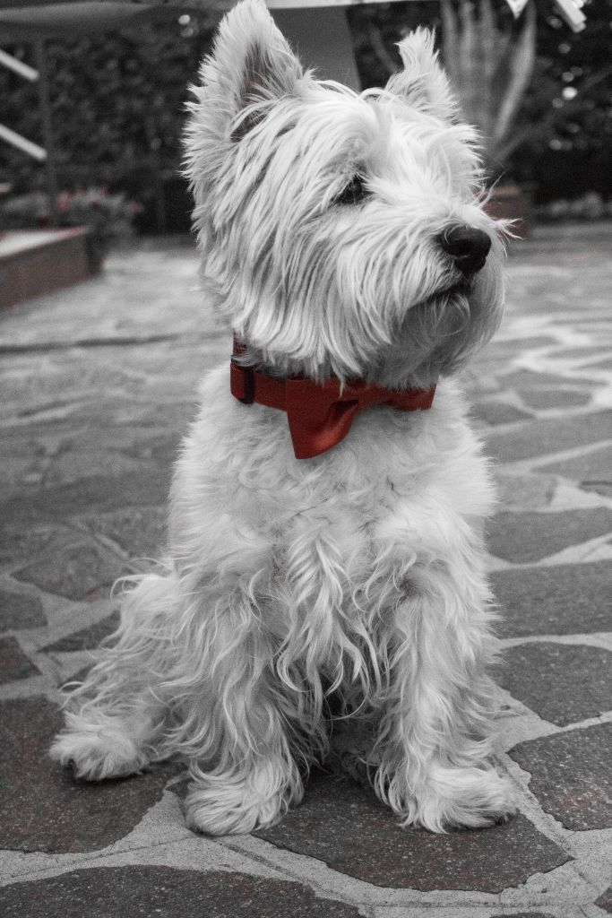 Always by your side. #wedding #dog with #handmade #bowtie #collar  Bow tie and collar from BowPawTie.