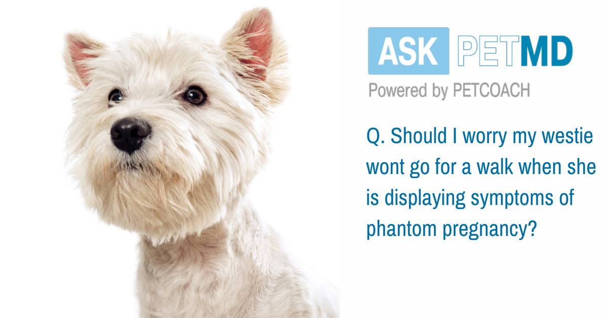 Today's #AskPetMD answer addresses phantom pregnancy! Have a question only a veterinarian can answer? Find your answer below: