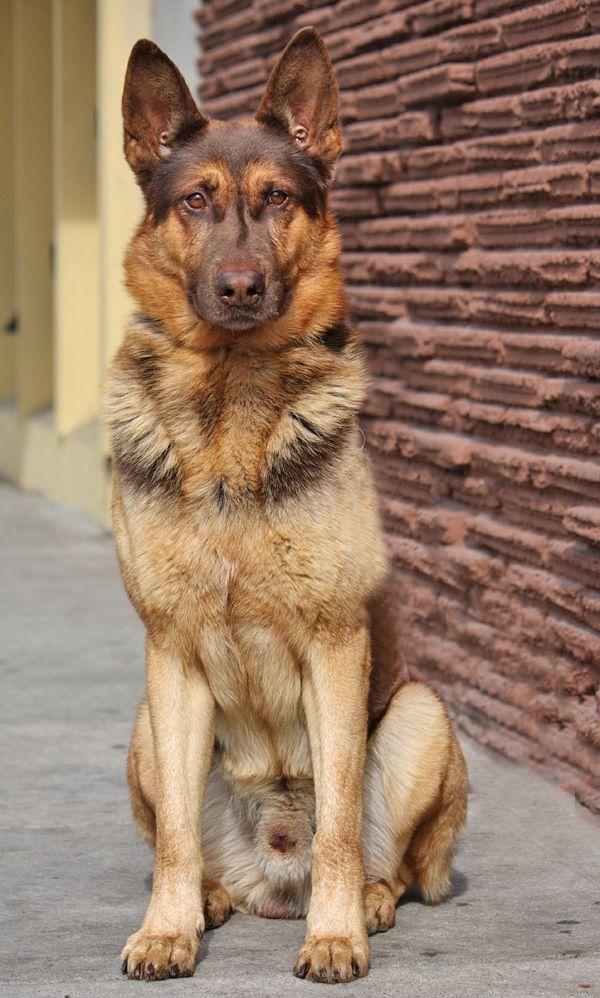 Westside German Shepherd Rescue Of Los Angeles Sheprescue 11 16