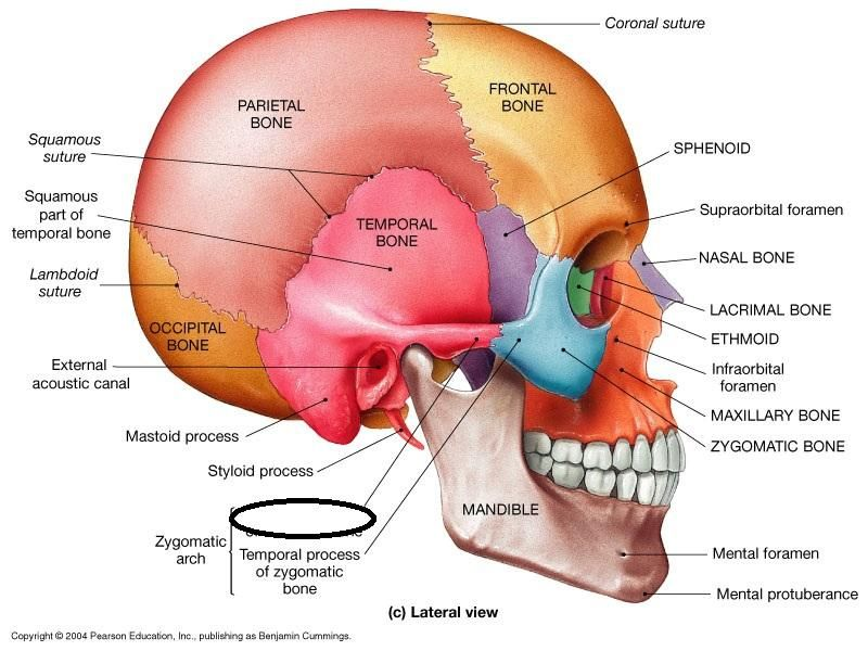 zygomatic process of the temporal bone | tmj knowledge | pinterest, Human Body